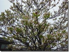 H26年4月18日近辺風景 009